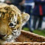 lara tiger